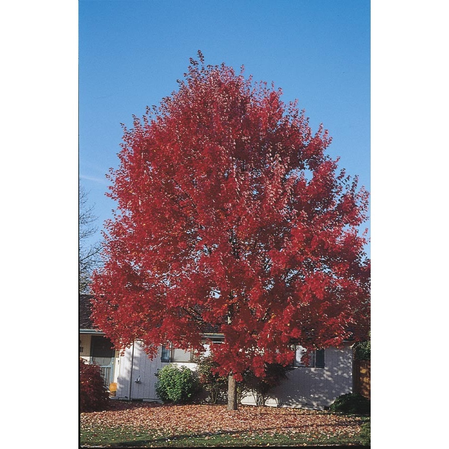 3.25-Gallon Sun Valley Red Maple Shade Tree (L2080)