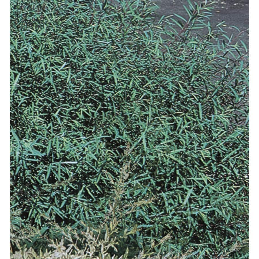 3.63-Gallon Dappled Willow Accent Shrub (L20514)