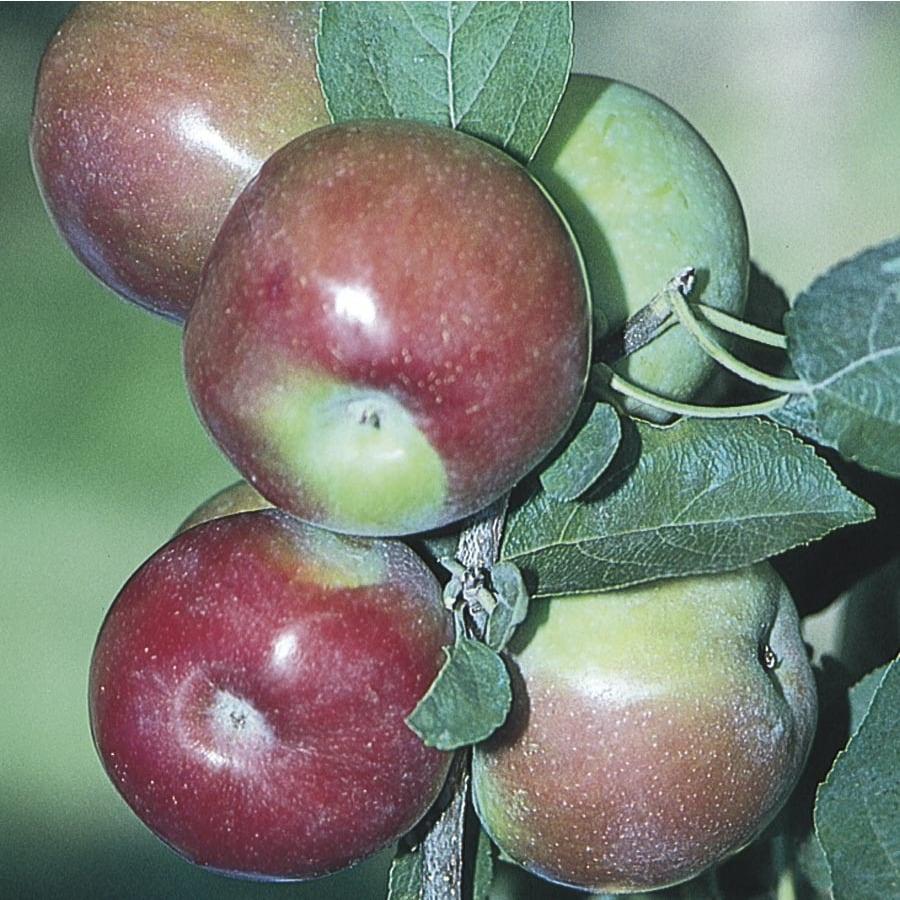 6-Gallon Mcintosh Dwarf Apple Tree (L3576)