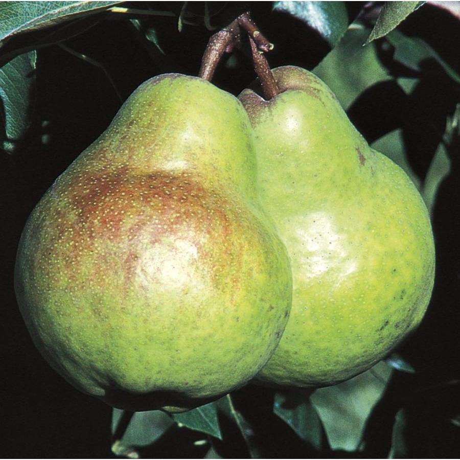 6-Gallon Bartlett Dwarf Pear Tree (L1387)