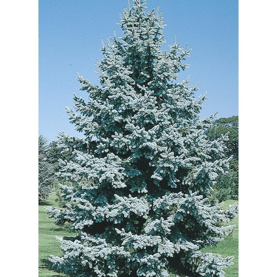 12.68-Gallon Colorado Blue Spruce Feature Tree (L3937)