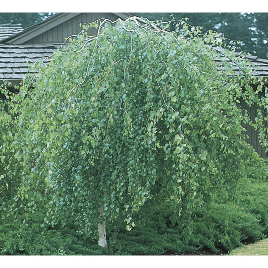 6-Gallon Weeping Young's European White Birch Feature Tree (L3445)