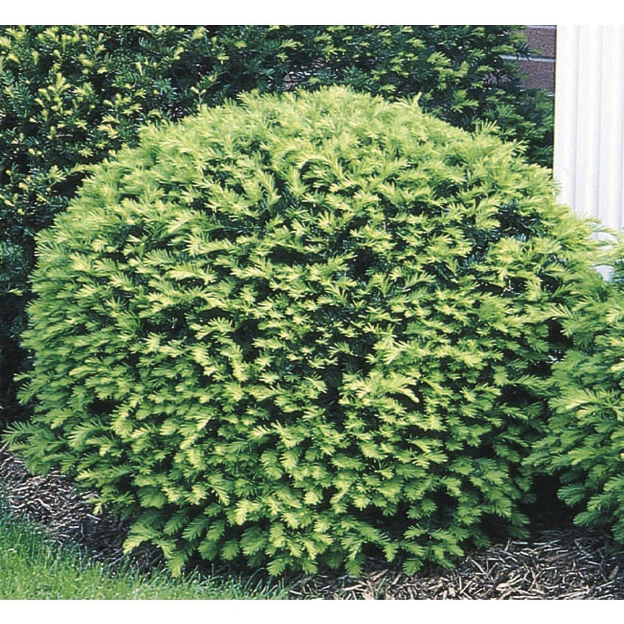 3.63-Gallon Globe Yew Foundation/Hedge Shrub (L4606)
