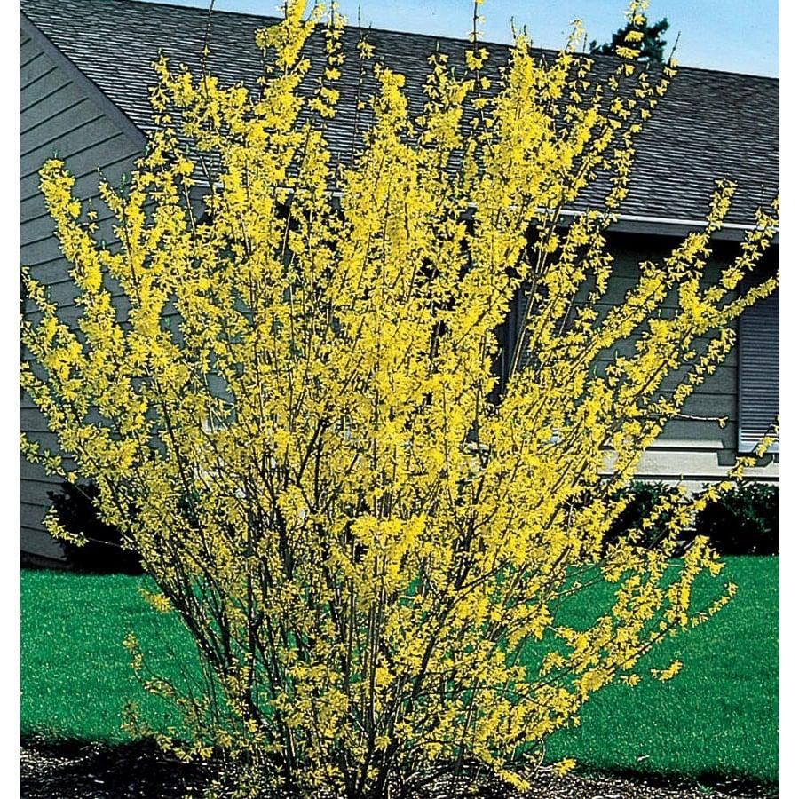 Shop 55 gallon yellow forsythia flowering shrub l3184 at lowes 55 gallon yellow forsythia flowering shrub l3184 mightylinksfo