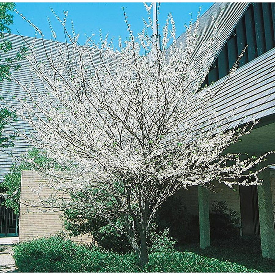 5.5-Gallon White Eastern Redbud Flowering Tree (L4676)