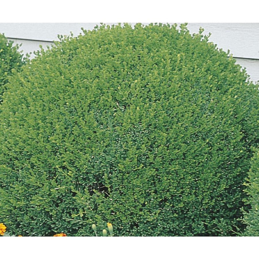 3.63-Gallon Green Velvet Boxwood Foundation/Hedge Shrub (L7205)