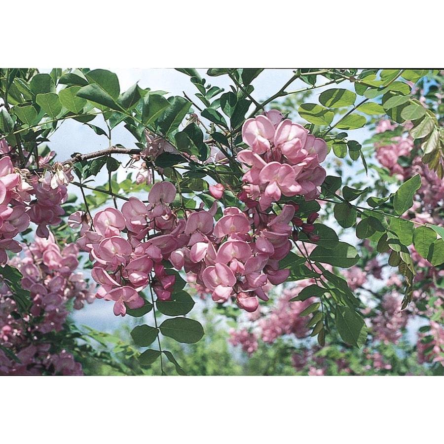 Shop 325 Gallon Pink Purple Robe Locust Flowering Tree In Pot With