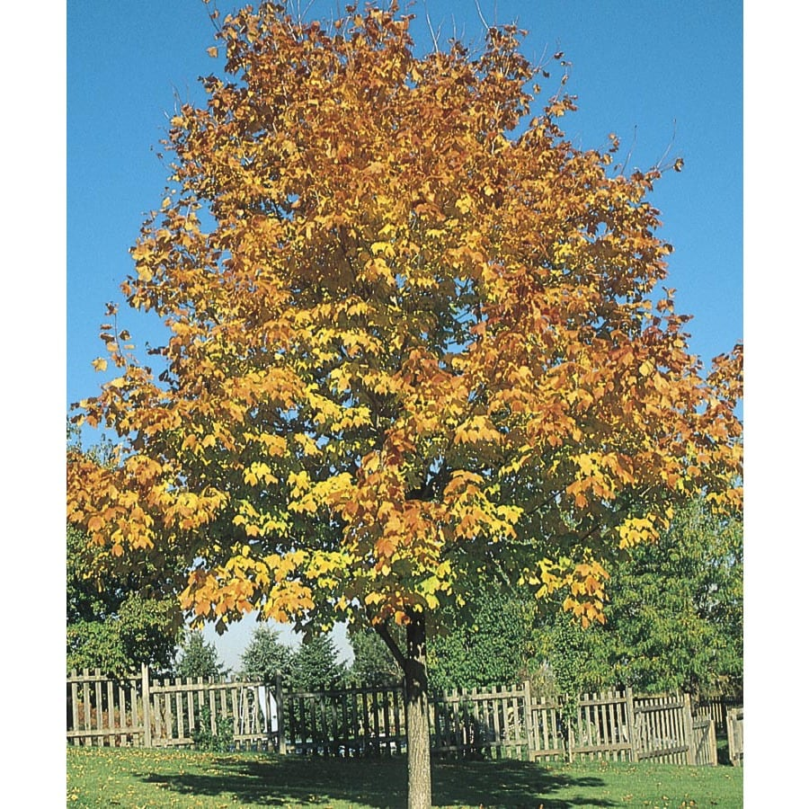 12.68-Gallon Green Mountain Sugar Maple Shade Tree (L1155)