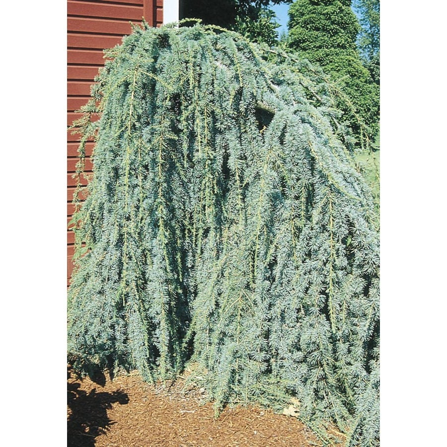 6-Gallon Weeping Blue Atlas Cedar Feature Tree (L8098)