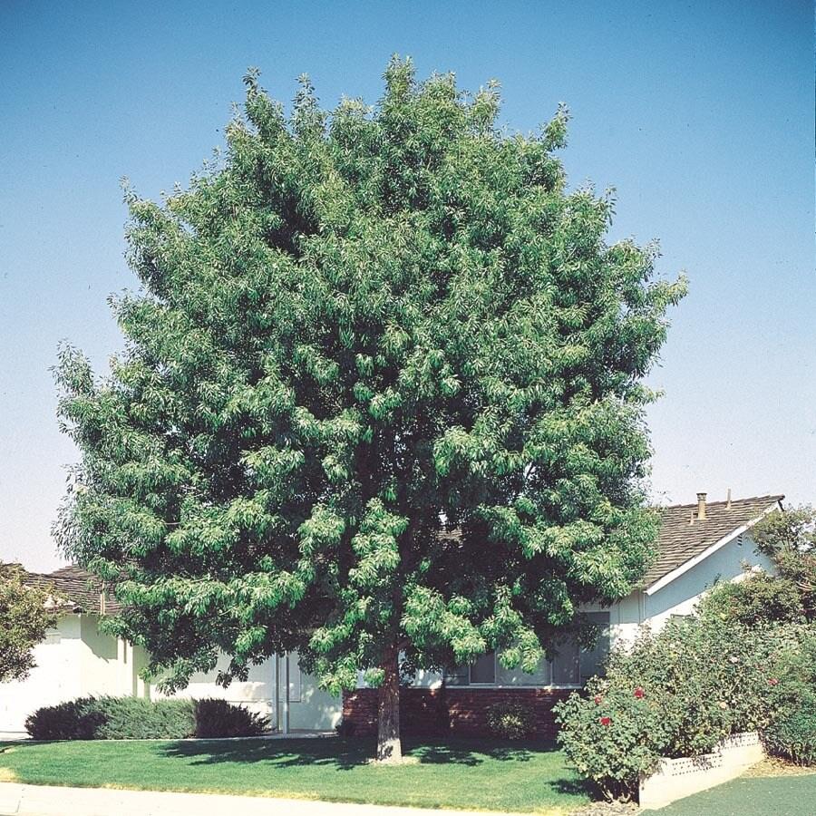 10.25-Gallon Fan-Tex Ash Shade Tree (L1051)