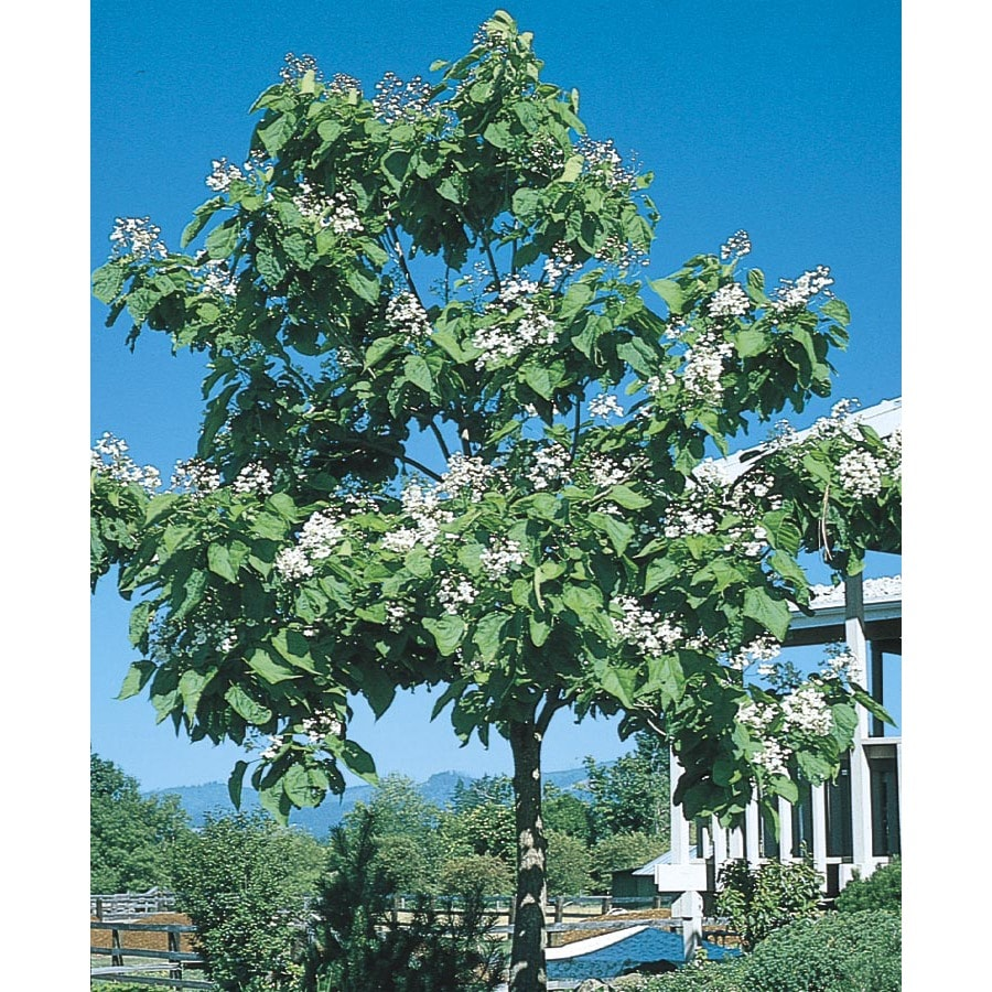 3.74-Gallon Western Catalpa Flowering Tree (L7405)