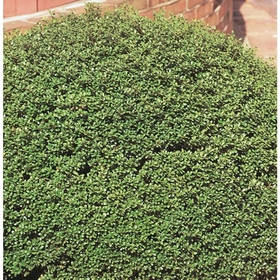 5.5-Gallon Soft Touch Compact Holly Foundation/Hedge Shrub (L7165)