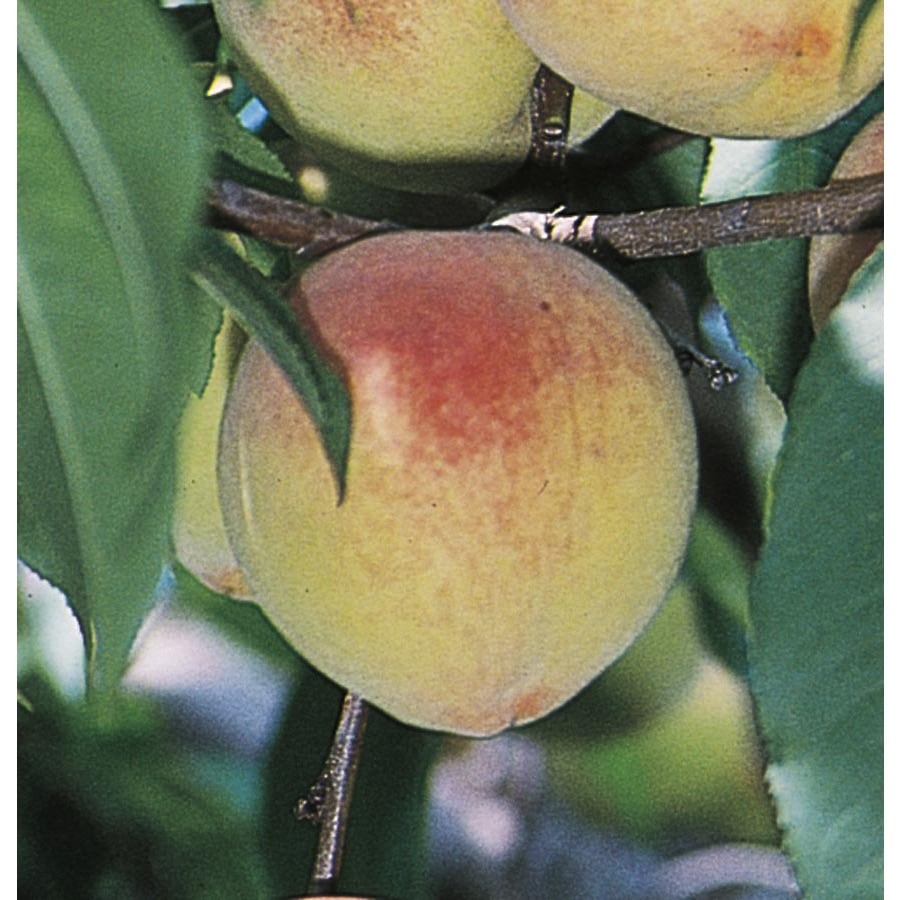6-Gallon Belle Of Georgia Dwarf Peach Tree (L3219)