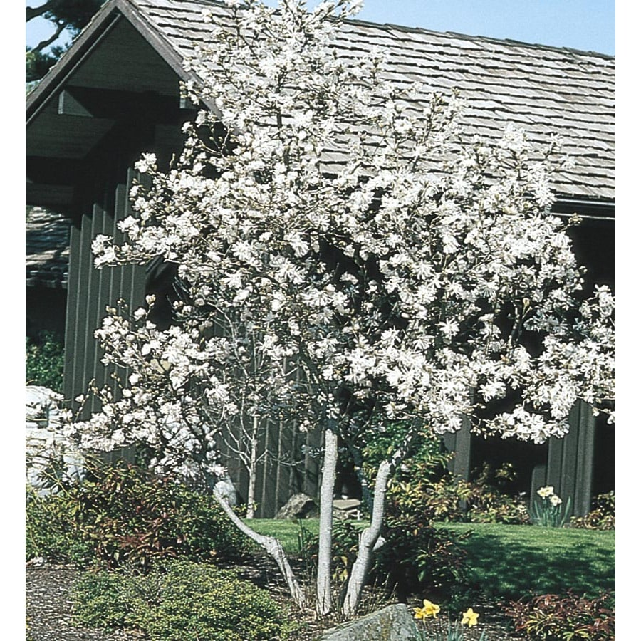 2.54-Gallon White Royal Star Magnolia Flowering Shrub (L1148)