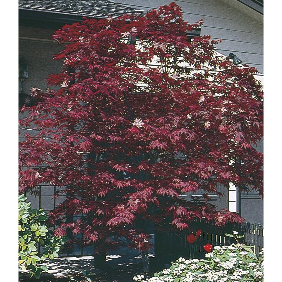 2.54-Gallon Assorted Upright Japanese Maple Feature Tree (L5413)