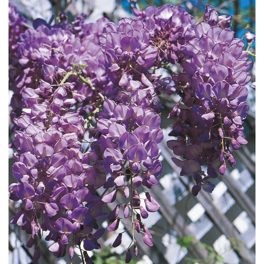 2.54-Gallon(s) Wisteria (L6343)