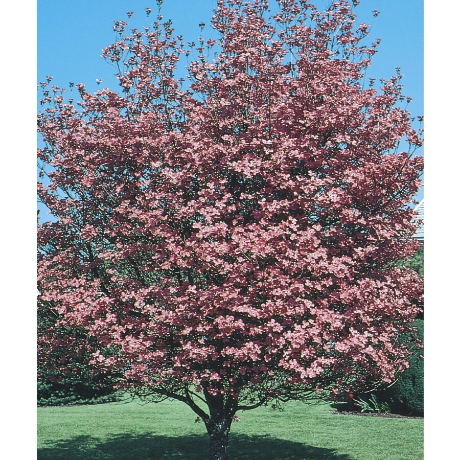 3.63-Gallon Pink Crabapple Flowering Tree (L7002)