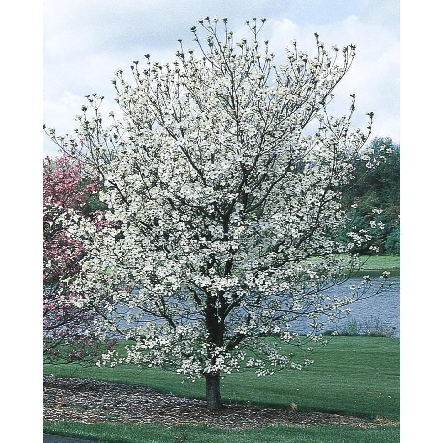 3.63-Gallon Cherokee Princess Dogwood Flowering Tree (L7329)