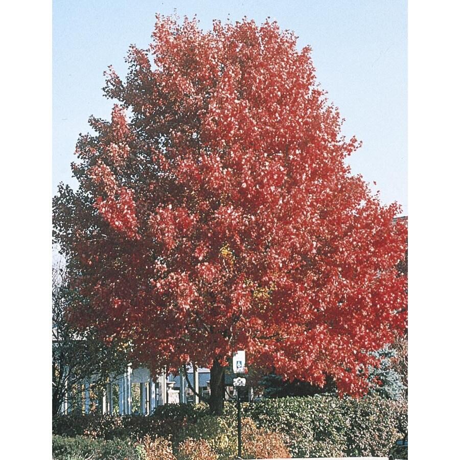 3.63-Gallon October Glory Maple Shade Tree (L3171)