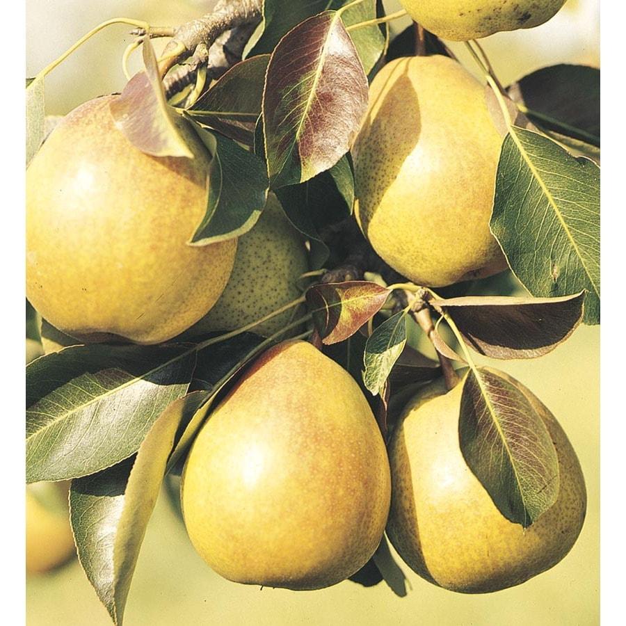 3.58-Gallon Moonglow Semi-Dwarf Pear Tree (L4569)