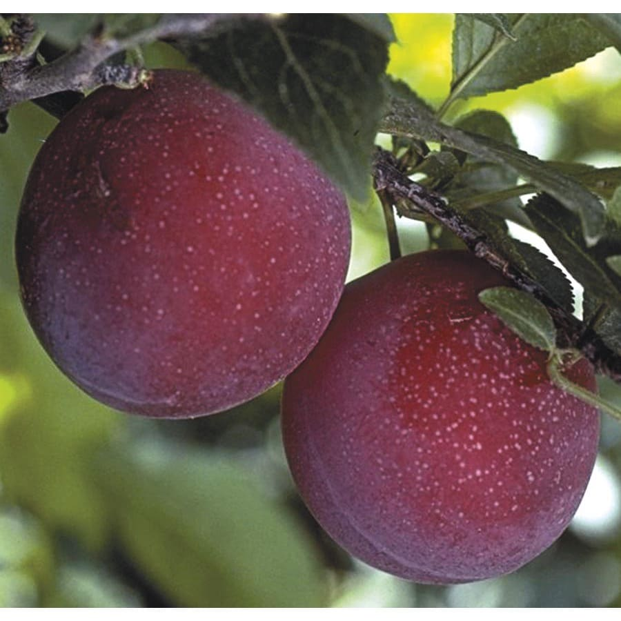 3.58-Gallon Supersweet Plum Tree (L24831)