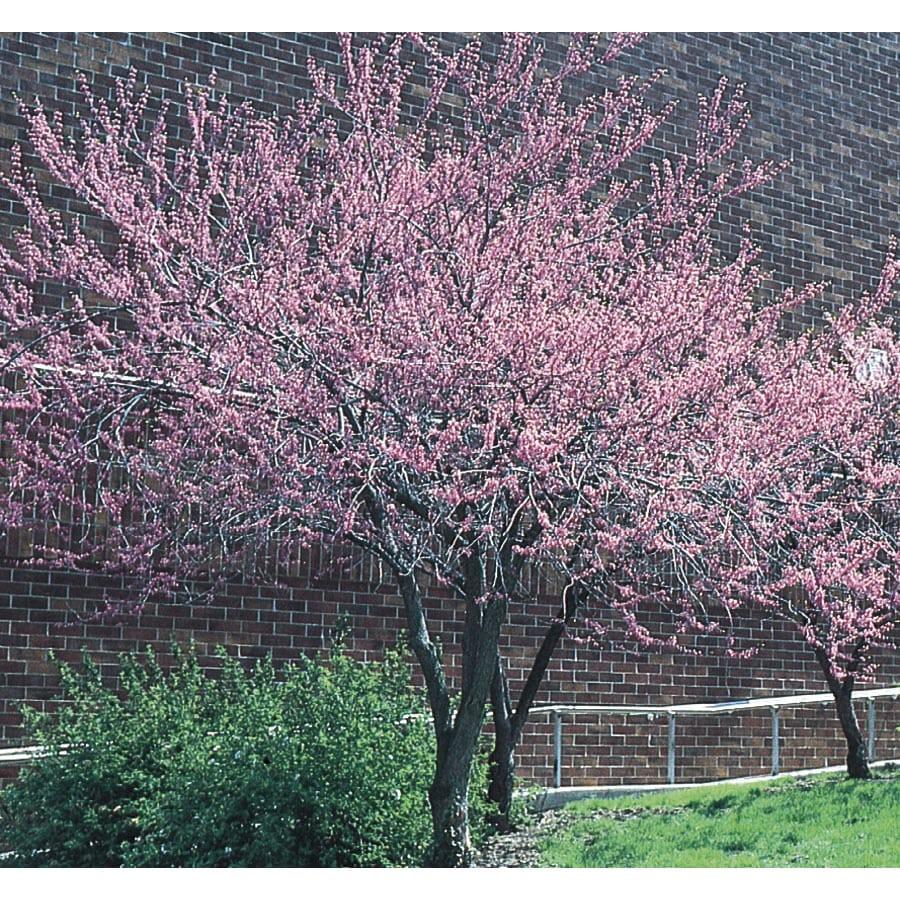 3.63-Gallon Redbud Flowering Tree (L11838)