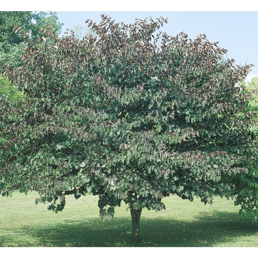 3.63-Gallon Forest Pansy Redbud Flowering Tree (L1071)