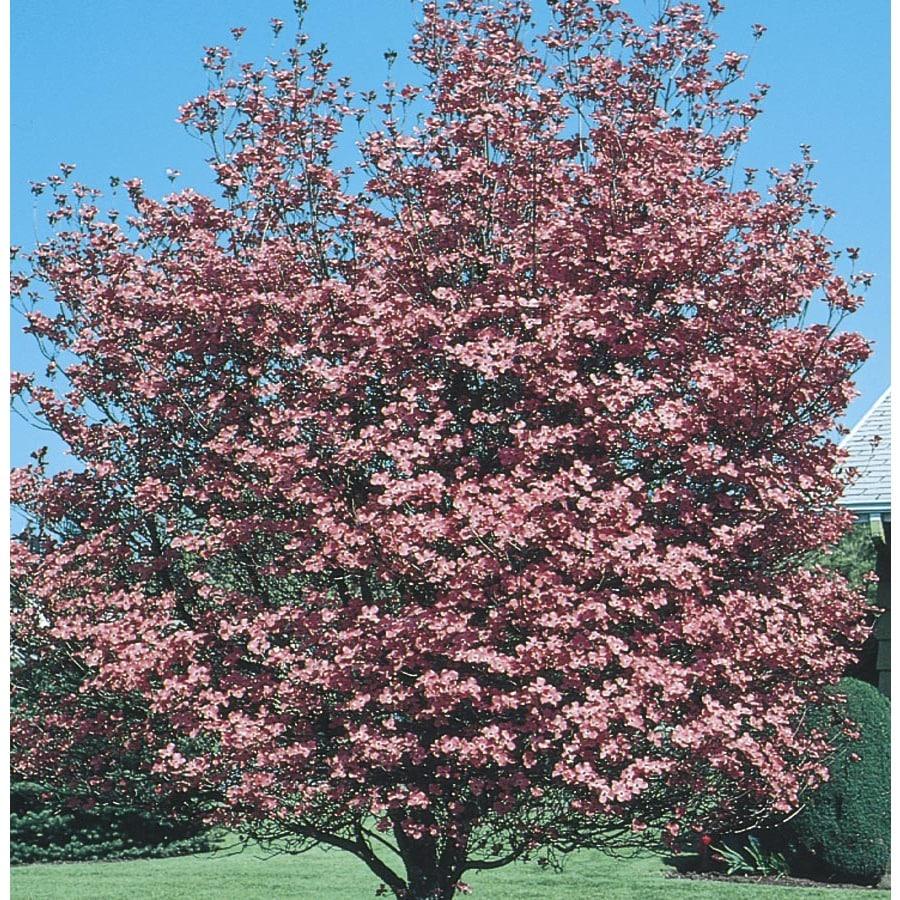 6-Gallon Pink Crabapple Flowering Tree (L7002)