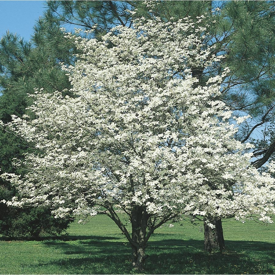 6 Gallon White Dogwood Flowering Tree In Pot With Soil L1053 At
