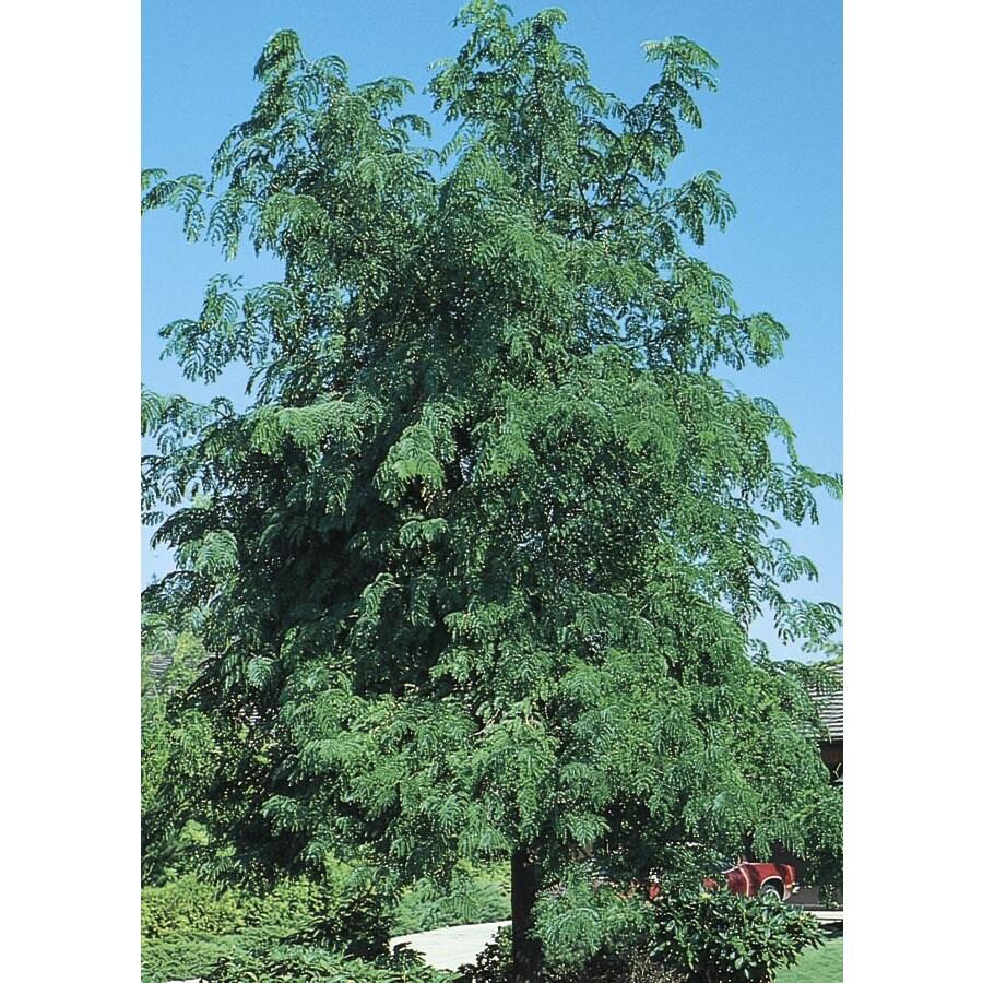 6-Gallon Skyline Honeylocust Shade Tree (L1079)