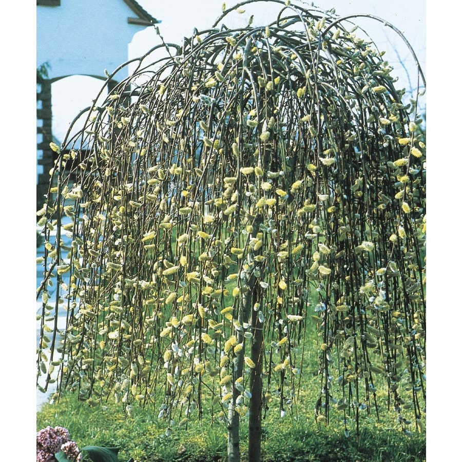 6-Gallon Yellow Weeping Pussy Willow Tree Feature Shrub (LW01654)