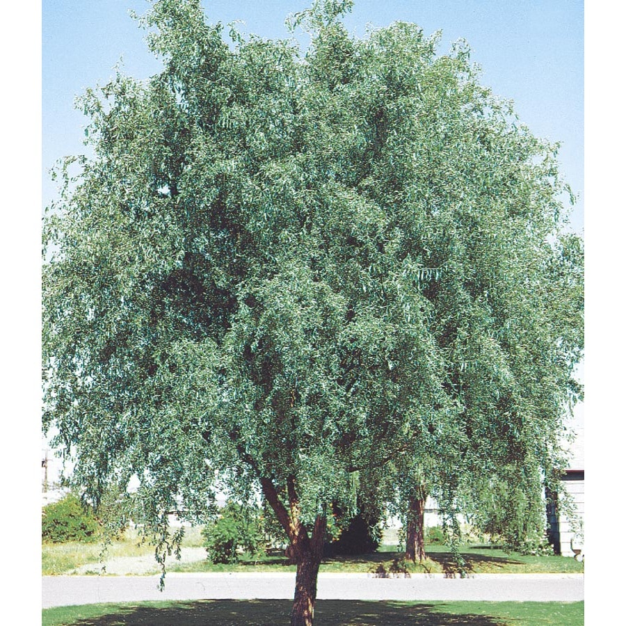 6-Gallon Corkscrew Willow Feature Tree (L4390)