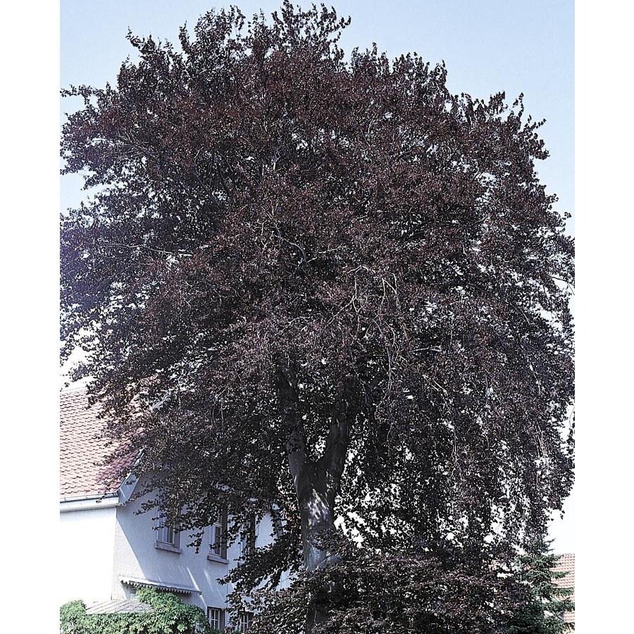 7.96-Gallon Purple Beech Feature Tree (L21642)