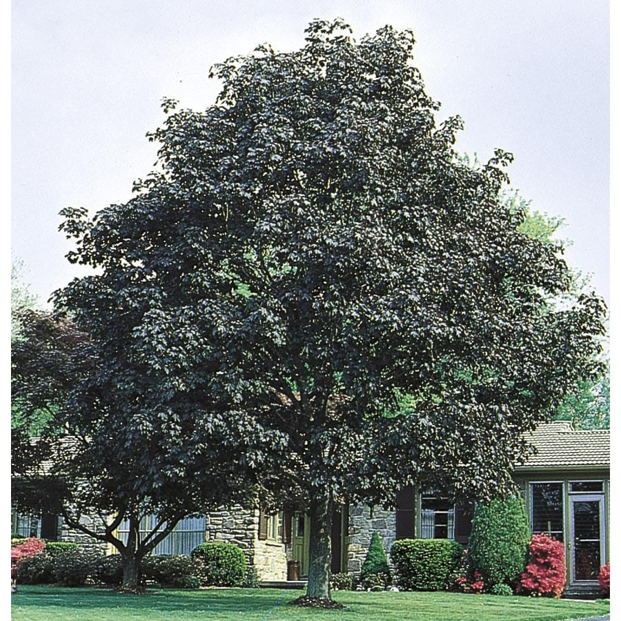 12.68-Gallon Crimson King Norway Maple Shade Tree (L3166)