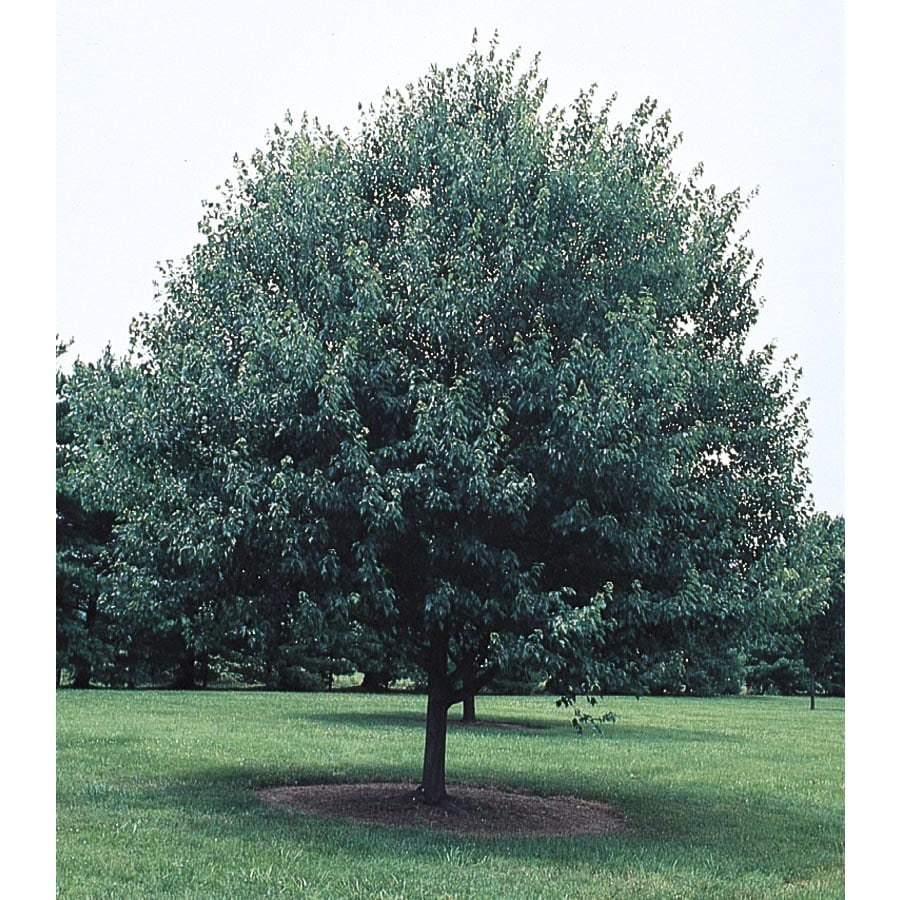 12.68-Gallon Red Sunset Maple Shade Tree (L1129)