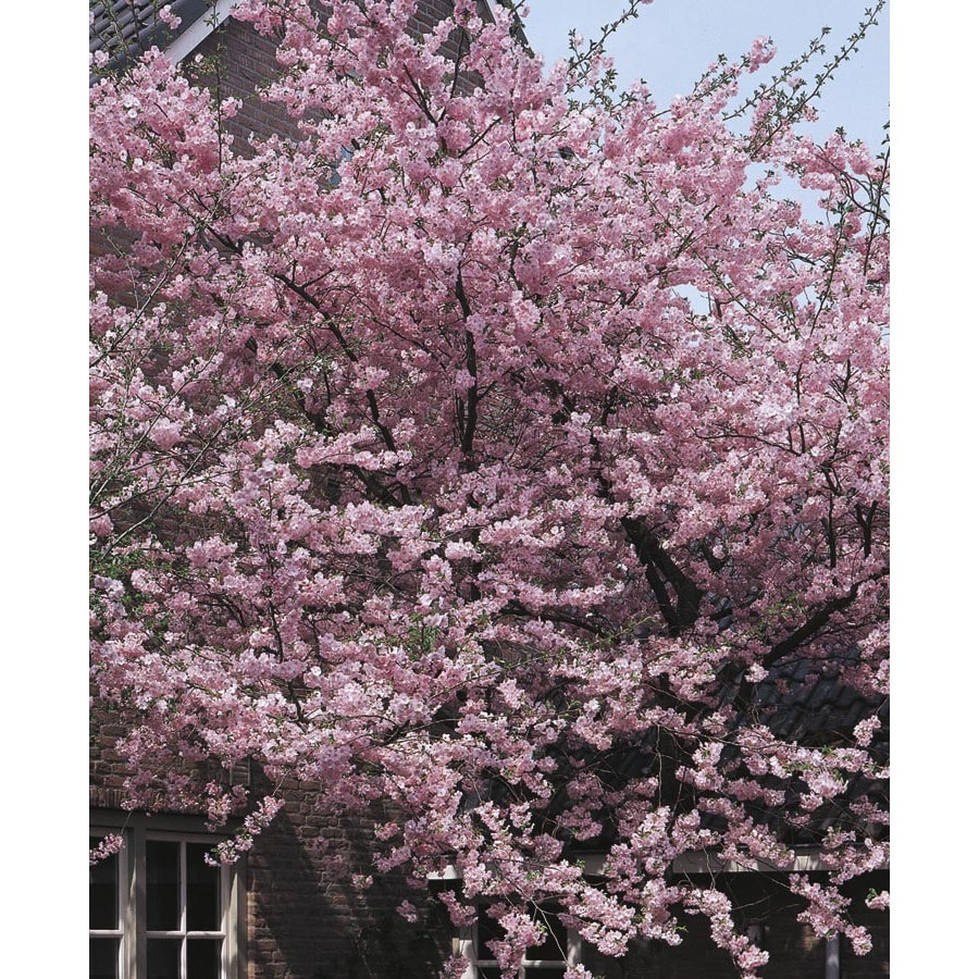 12.68-Gallon Kwanzan Flowering Cherry Flowering Tree (L1023)