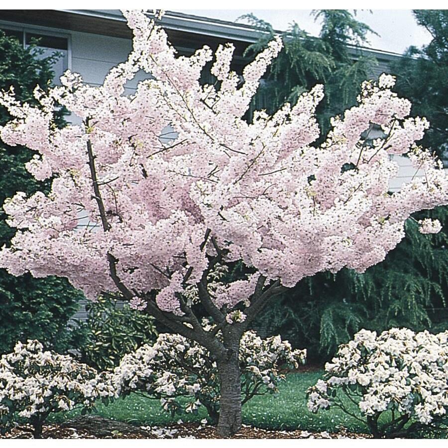 12.68-Gallon Yoshino Flowering Cherry Flowering Tree (L3234)