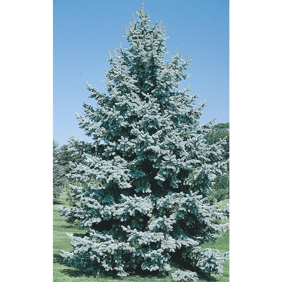 5.7-Gallon Colorado Blue Spruce Feature Tree (L3937)