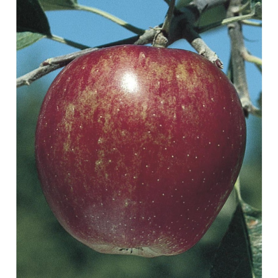 6-Gallon Winesap Dwarf Apple Tree (L1380)