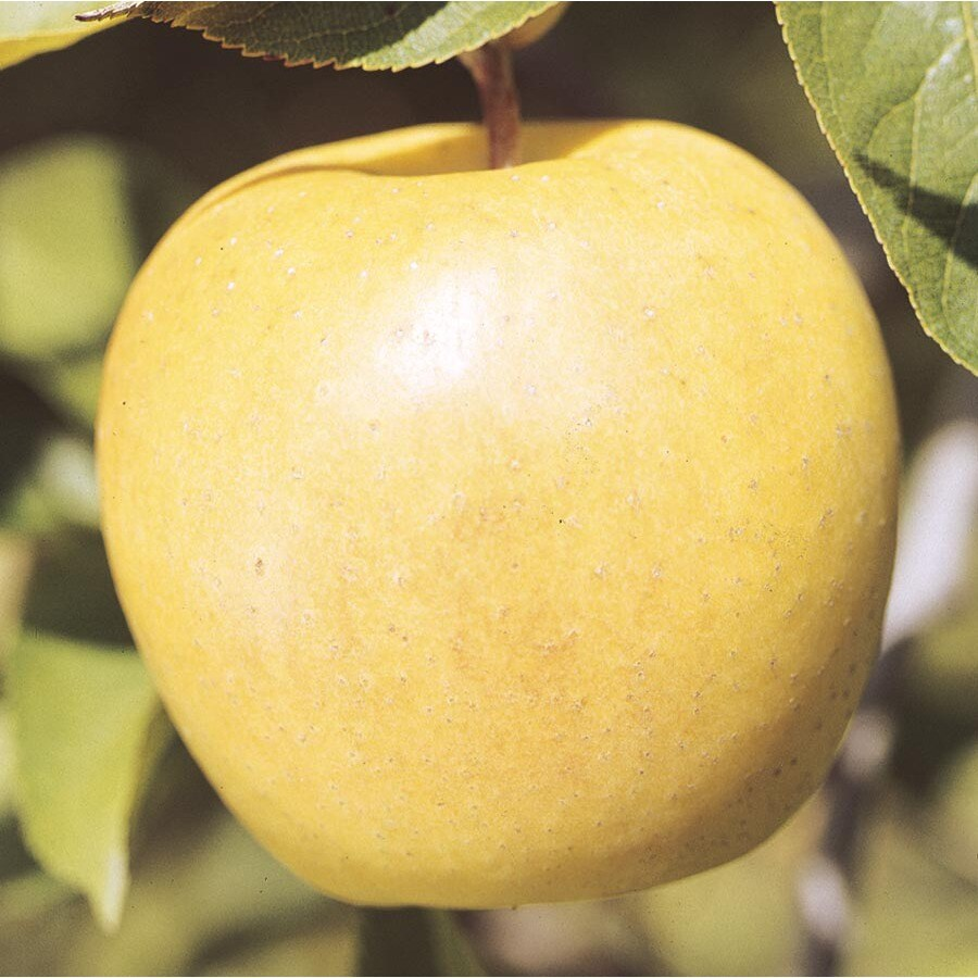 6.23-Gallon Yellow Delicious Dwarf Apple Tree (L3195)