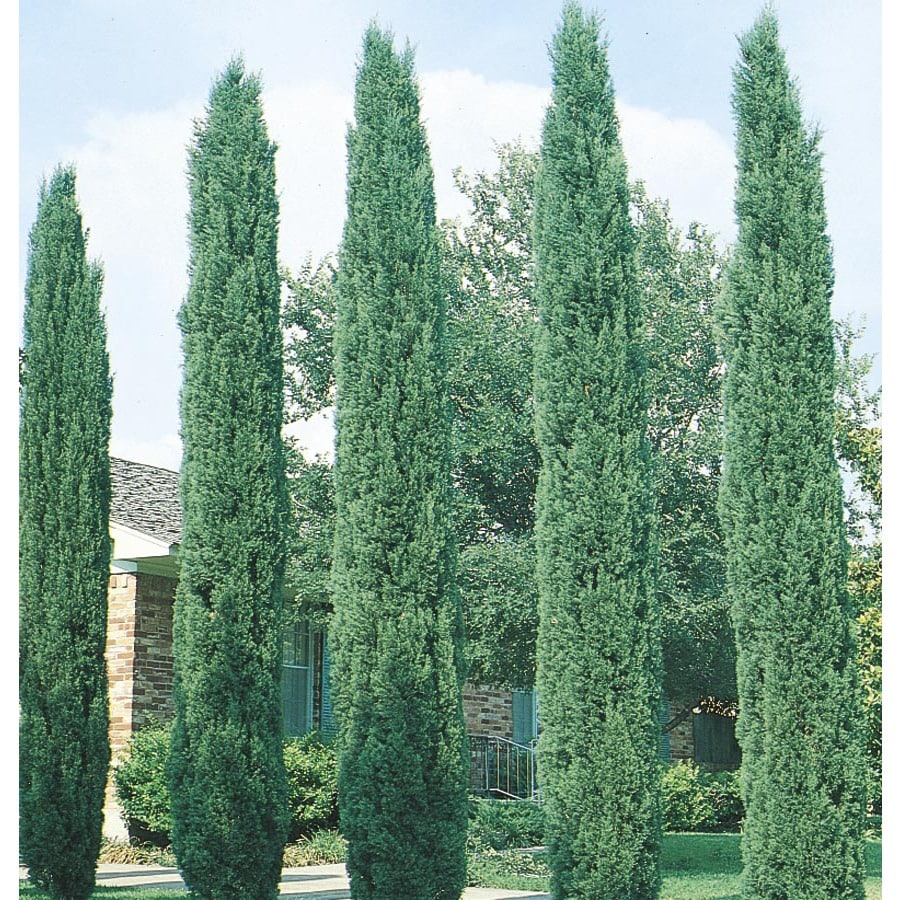 6.08-Gallon Italian Cypress Feature Tree (L3291)
