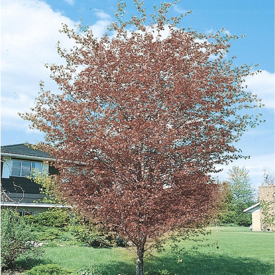 6-Gallon Washington Hawthorn Flowering Tree (L7331)