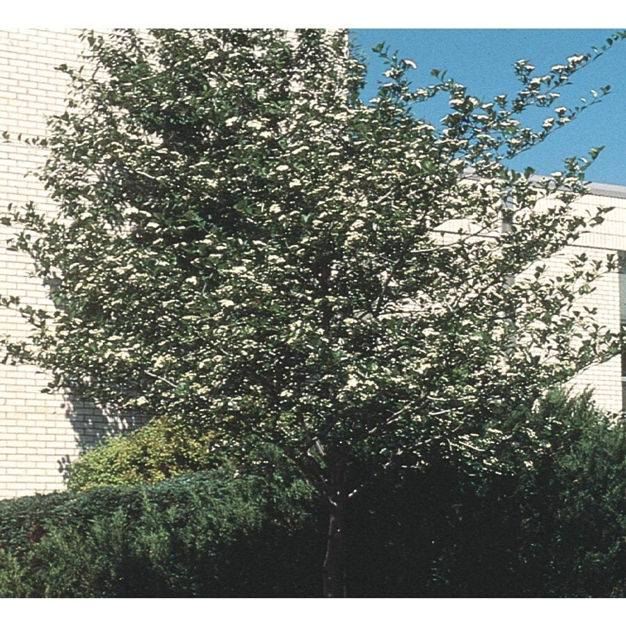 6-Gallon Crusader Hawthorn Flowering Tree (L1113)