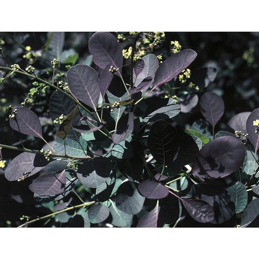7.96-Gallon Purple Purple Smoketree Feature Shrub (LW01561)