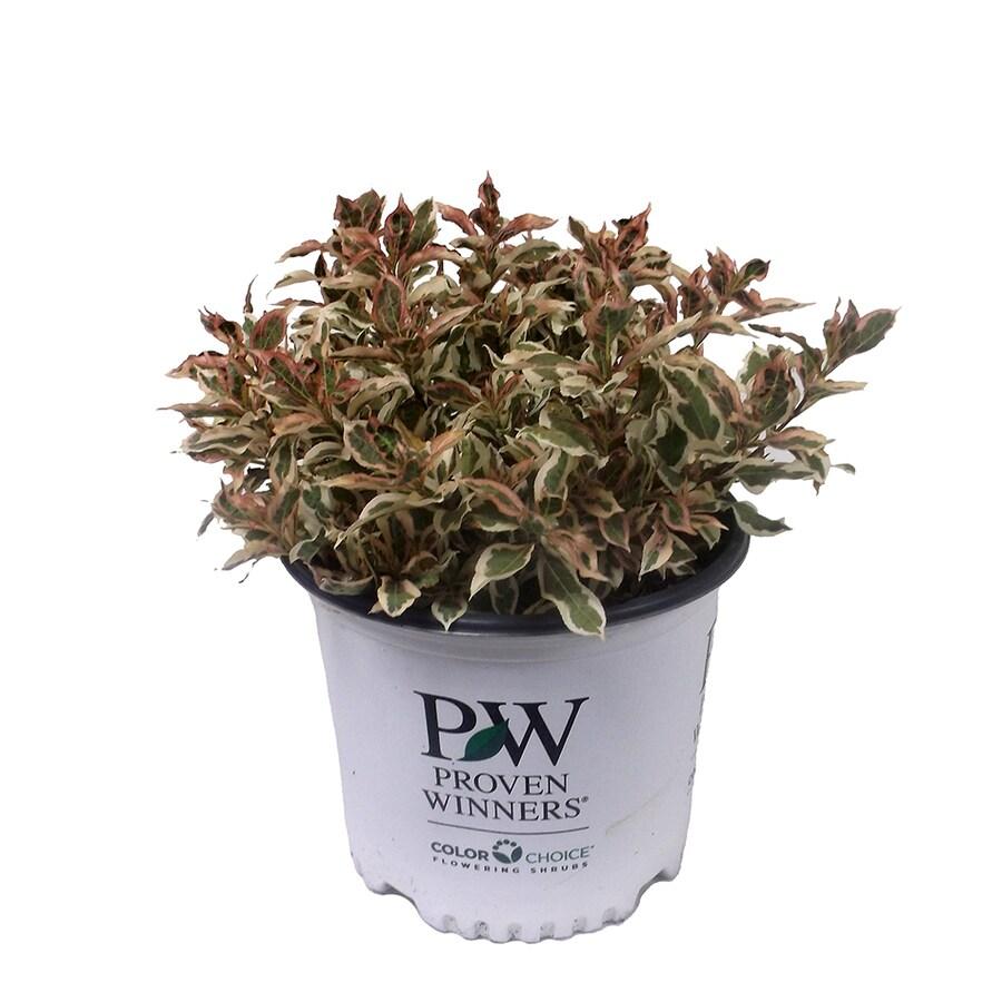 3-Gallon Pink Weigela Flowering Shrub
