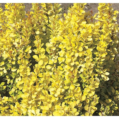 Golden Rocket Barberry Accent Shrub In Pot With Soil