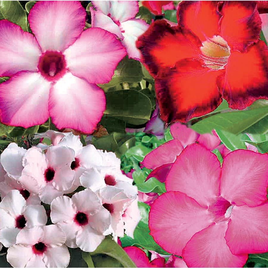 1-Gallon Mixed Desert Rose Flowering Shrub (L11232)
