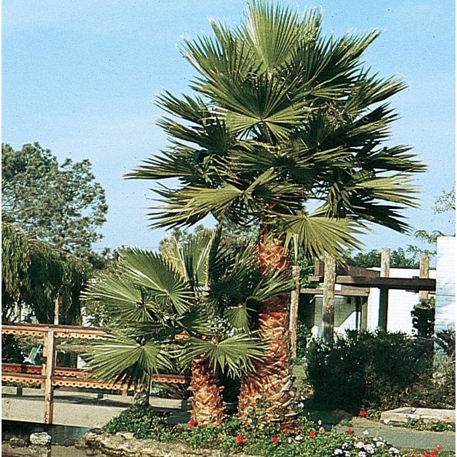 3.64-Gallon Mexican Fan Palm Feature Tree (L3048)