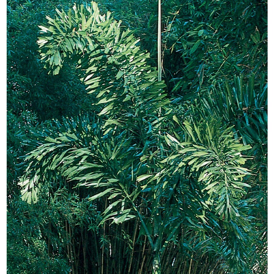 3.64-Gallon Foxtail Palm (L14531)