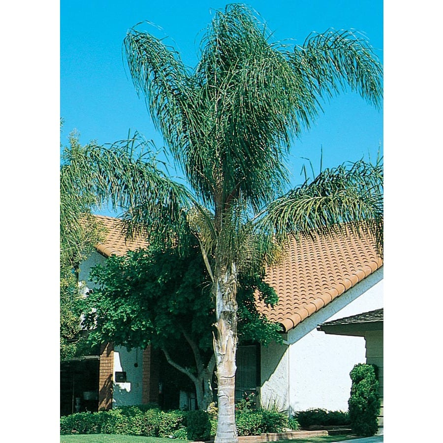 3.64-Gallon Queen Palm Feature Tree (L5784)